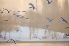 Fåglar som flyger över sjön Arkivbild