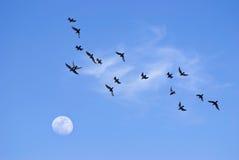 fåglar som flyger moonen in mot Royaltyfri Foto