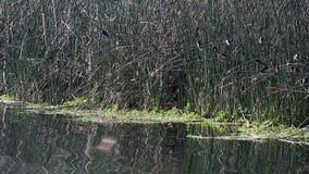Fåglar som flyger och landar på vasser på kanten av den lilla sjön stock video