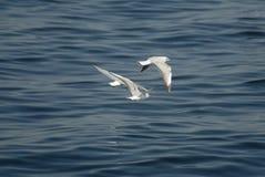 Fåglar som flyger ovanför havet royaltyfri bild