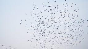 FÅGLAR som flyger på himmel Royaltyfria Bilder