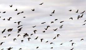 fåglar som flyger skyen Arkivbild