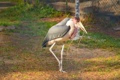Fåglar som går med pinnar Arkivbilder