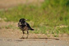 fåglar som jagar ormen Royaltyfria Bilder