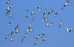 fåglar som migrating arkivbilder