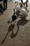 Fåglar som omkring går vid det slingrande i London Royaltyfri Foto
