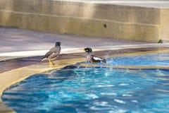 Fåglar som simmar i pölen Stående av en kullemynah, Graculareligiosafågel, den mest intelligenta fågeln i världen thailand Arkivfoton