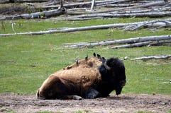 Fåglar som sitter på en amerikansk bison, Yellowstone nationalpark Arkivbilder