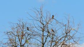 Fåglar som sitter på torrt träd, filialer som svänger i vinden stock video