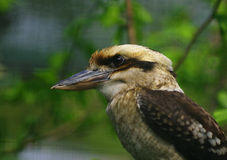 Fåglar som skrattar skrattfågel Royaltyfria Foton