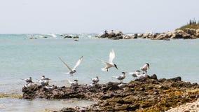 Fåglar som spelar på stranden, Arashi strand, Aruba arkivfoto