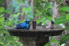 Fåglar som tar en dusch Royaltyfria Foton