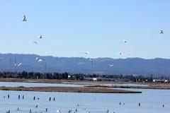 Fåglar som vilar och i flykten i Ravenswood damm, söder av den Dumbarton bron och närgränsande till San Francisco Bay, Menlo Park Fotografering för Bildbyråer