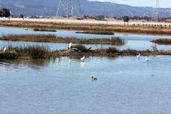 Fåglar som vilar och i flykten i Ravenswood damm, söder av den Dumbarton bron och närgränsande till San Francisco Bay, Menlo Park Arkivbild