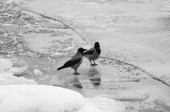 Fåglar spelar Royaltyfri Fotografi