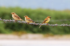 Fåglar tre som sätta sig på taggen Fotografering för Bildbyråer