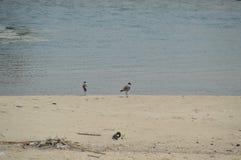 Fåglar vid havet Royaltyfri Fotografi