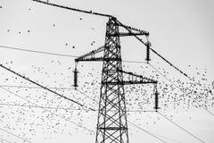 Fåglar vulgaris Storn Sturnus Arkivfoto