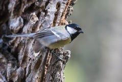 Fåglarna meddelar våren Royaltyfri Foto