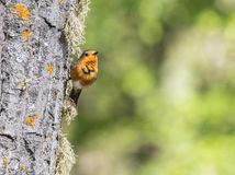Fåglarna meddelar våren Fotografering för Bildbyråer