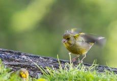 Fåglarna meddelar våren Royaltyfri Fotografi