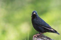 Fåglarna meddelar våren Arkivfoton