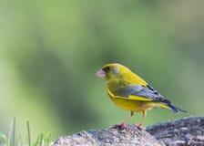 Fåglarna meddelar våren Arkivfoto