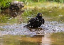 Fåglarna meddelar våren Royaltyfri Bild