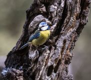 Fåglarna meddelar våren Royaltyfria Foton