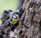 Fåglarna meddelar våren Arkivbild