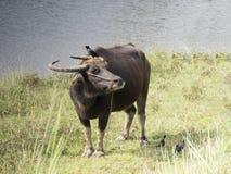 Fåglarna och buffeln royaltyfria foton