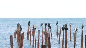 Fåglarna sitter på pinnarna i vattnet stock video