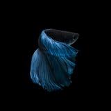 Fånga det rörande ögonblicket av den blåa siamese stridighetfisken Arkivfoto