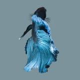 Fånga det rörande ögonblicket av den blåa siamese stridighetfisken Arkivfoton