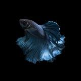Fånga det rörande ögonblicket av den blåa siamese stridighetfisken Royaltyfri Bild
