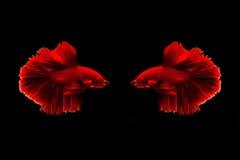 Fånga det rörande ögonblicket av den guld- kopparsiamese stridighetfisken och röda bettafisken som isoleras på svart bakgrund Bet Royaltyfri Fotografi
