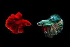Fånga det rörande ögonblicket av den guld- kopparsiamese stridighetfisken och röda bettafisken som isoleras på svart bakgrund Bet Royaltyfri Bild