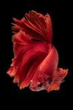 Fånga det rörande ögonblicket av stridighetfisken som isoleras på svartbac Arkivfoton