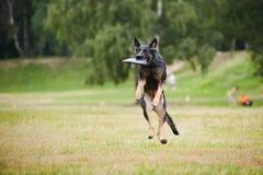 Fånga för svart hund för Frisbee Royaltyfri Fotografi