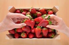 Fånga jordgubbar för en ask Arkivbild