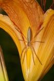 fånga krabbor den spensliga spindeln Royaltyfria Foton
