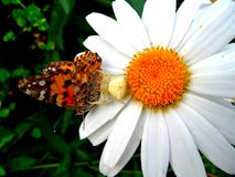 Fånga krabbor den spindel-/kameleontspindeln på en tusensköna med hans rov fotografering för bildbyråer