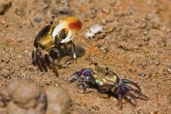 fånga krabbor fifflaren Arkivbilder