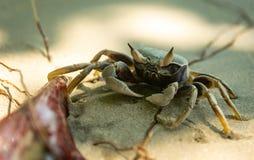 Fånga krabbor gripa en pinne på en sandig strand i Thailand arkivbilder