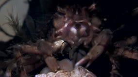 Fånga krabbor hios som är undervattens- i sökande av mat på havsbotten av det vita havet Ryssland arkivfilmer