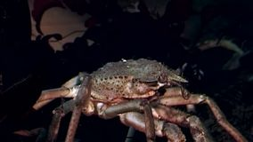 Fånga krabbor hios som är undervattens- i sökande av mat på havsbotten av det vita havet Ryssland stock video