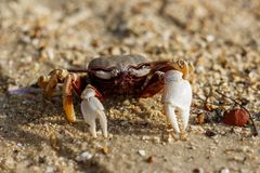 Fånga krabbor på stranden i Phuket, Thailand arkivbild