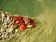 fånga krabbor red arkivfoto