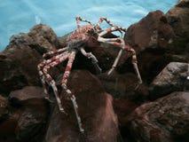 fånga krabbor red Royaltyfri Foto