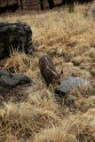 Fånga sikt av en Lesser Kudu i stenigt landskap Arkivfoton